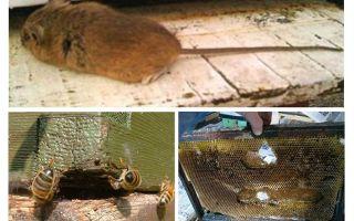 Comment chasser une souris de la ruche en hiver et en été