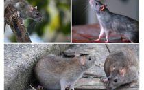 Combien d'années les rats ont-ils vécu?