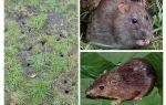 Rat de la terre