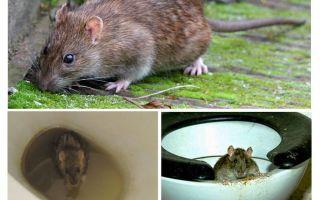 Un rat peut-il sortir des toilettes