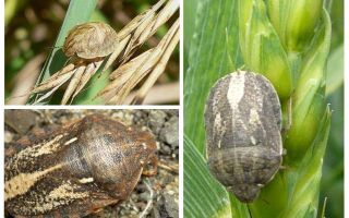 Bug tortue nuisible