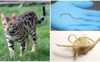 Symptômes et traitement de l'ascaridiose chez le chat