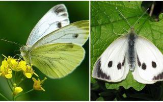 Description et photos de chenilles et papillons de chou