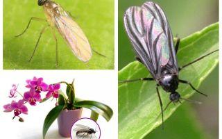 Que faire si les moucherons sont élevés dans les orchidées