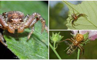 Description et photo de l'araignée crabe (bokhoda non isométrique)