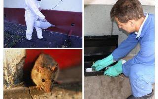 Extermination de rats et de souris par des services spécialisés