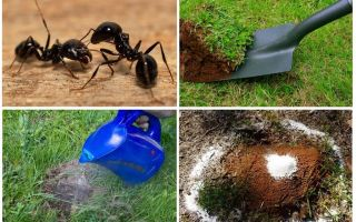 Comment se débarrasser des fourmis dans le jardin des remèdes populaires