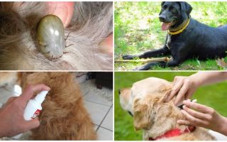 Les meilleurs médicaments pour les chiens contre les tiques et les puces