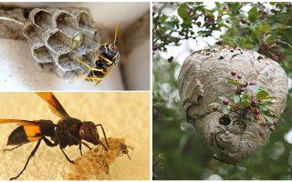 Comment se débarrasser des guêpes dans le rucher