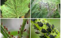 Comment traiter les pucerons dans le jardin et dans le jardin des remèdes populaires