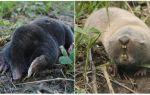 Quelle est la différence entre une taupe et un rat taupe?