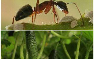 Comment traiter les fourmis dans le jardin avec des concombres