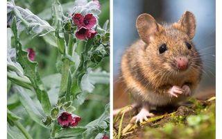 Planter une racine noire de souris