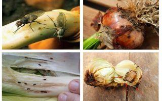 Comment se débarrasser des moucherons d'oignon
