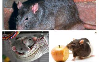 Faits intéressants sur les rats