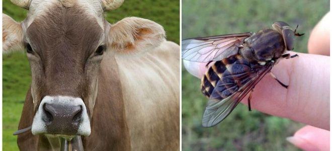 Comment traiter une vache des mouches et des mouches à la maison