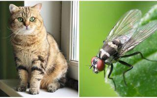 Que faire si un chat ou un chat mangeait une mouche