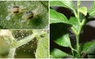Comment se débarrasser des acariens sur les plantes d'intérieur