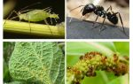 Type de relation de fourmis et pucerons