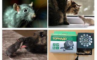 De quoi les rats et les souris ont-ils peur?