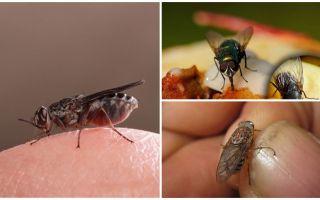 Pourquoi les mouches atterrissent sur les humains