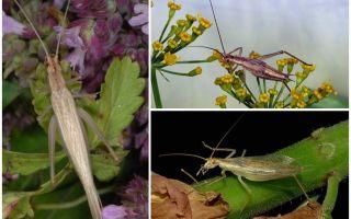 Description et photos du cricket de Crimée
