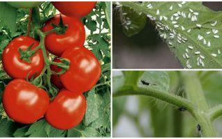 Comment traiter les tomates des mouches blanches et noires