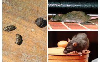 Comment gérer les rats dans l'appartement