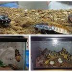 Aquarium pour cafards sifflants à Madagascar
