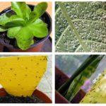 Mouches noires dans les plantes d'intérieur
