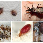 Insectes parasites