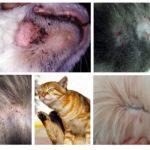Symptômes de puces chez les chats
