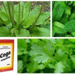 Plantain, menthe, persil et soda