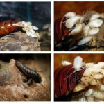 Œufs de Madagascar sifflant cafards