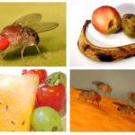 Mouches des fruits