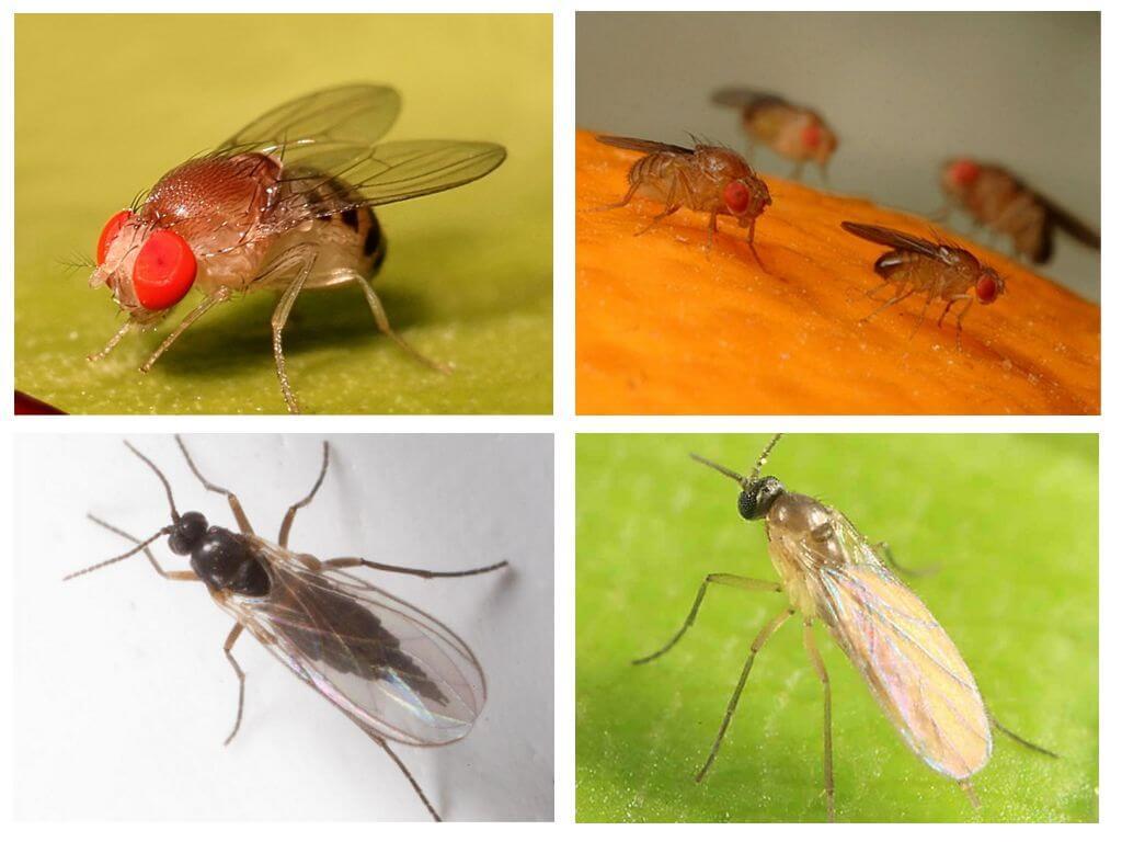 Comment Se Débarrasser De Moucherons Naturellement comment se débarrasser des mouches noires dans la cuisine à