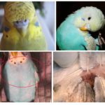 Les puces chez les perroquets
