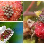 Berry bug-1