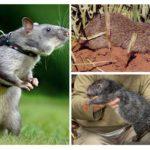 Gros rats