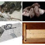 Rats de combat