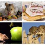 Que mange la souris?