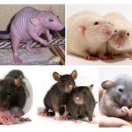 Rats décoratifs