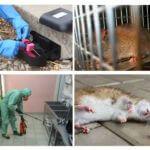 Extermination de rats et de souris