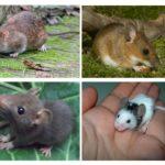 Cubs rats et souris