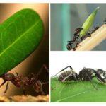 Quel type de charge une fourmi peut-elle transporter?