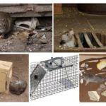 Rat au sous-sol