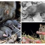 Rat avec des rats