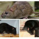 Rats noirs et gris