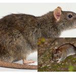 Rats et souris