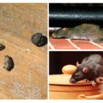 Les rats dans l'appartement